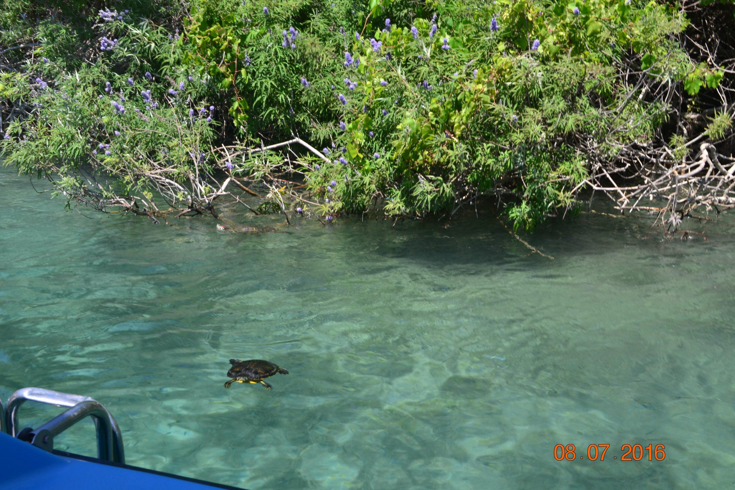 Двухцветные бугорчатые черепахи на озере Курнас (остров Крит)