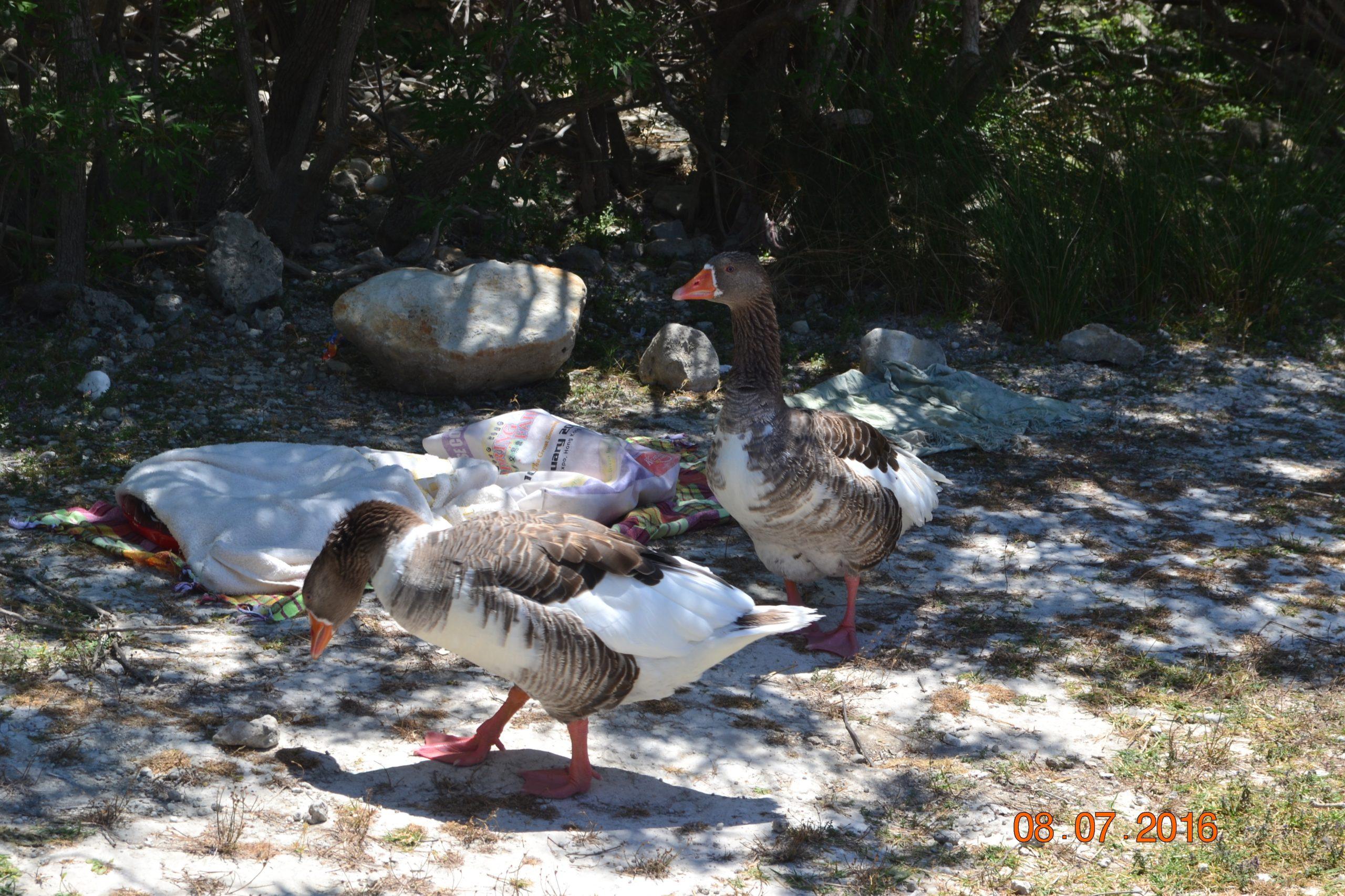 Гуси и утки озера Курнас